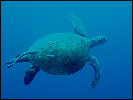 Male Green Turtle. East Coast, Nth Bougainville