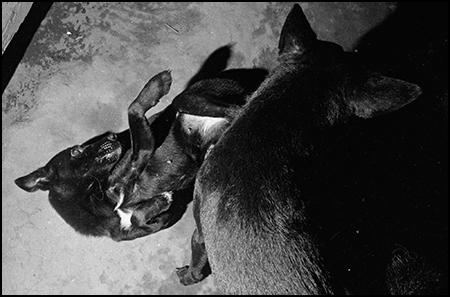 dog fight at Kareki, South Bougainville
